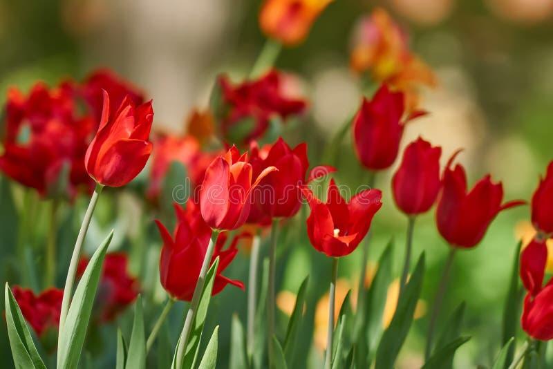 美好的红色郁金香领域在春天,自然本底 免版税图库摄影