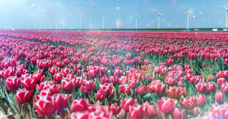 美好的红色郁金香领域在荷兰 免版税库存照片