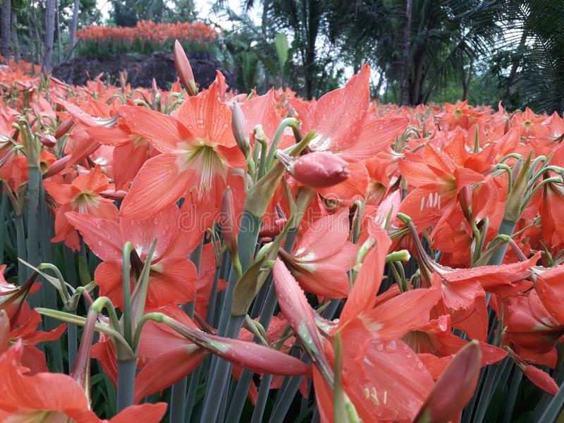 美好的绿色庭院花阿马里丽斯桃红色 免版税库存照片
