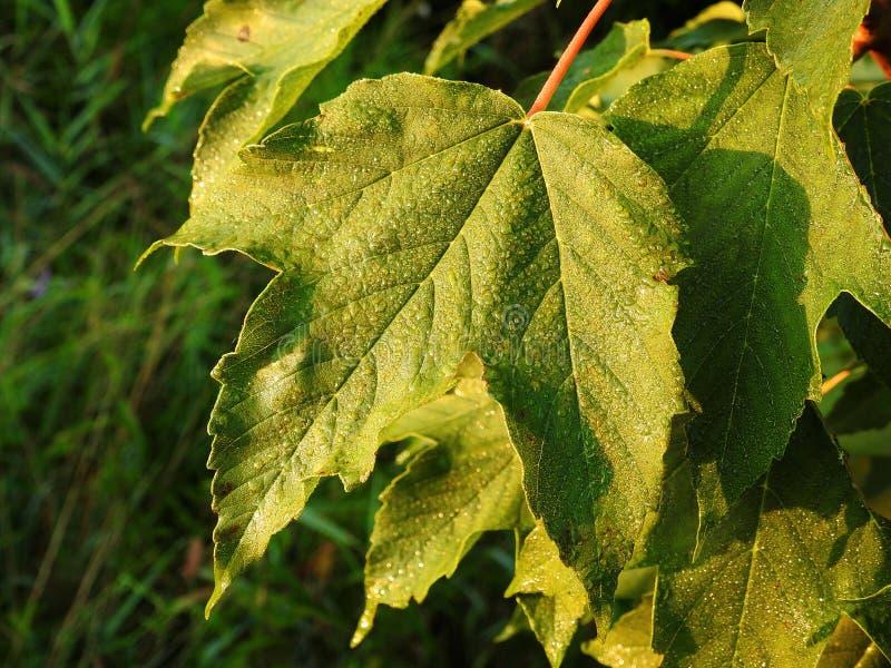 美好的绿色离开与早晨露水,立陶宛 库存图片