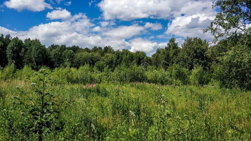 美好的绿色高lugana树和森林背景 在自然颜色的晴朗的夏日 草甸和森林花,丛林 免版税库存图片
