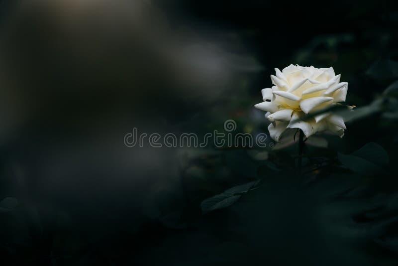 美好的罗斯背景,白玫瑰的关闭 免版税库存图片