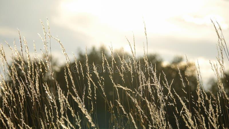美好的背景 软的焦点高干草吹 库存图片