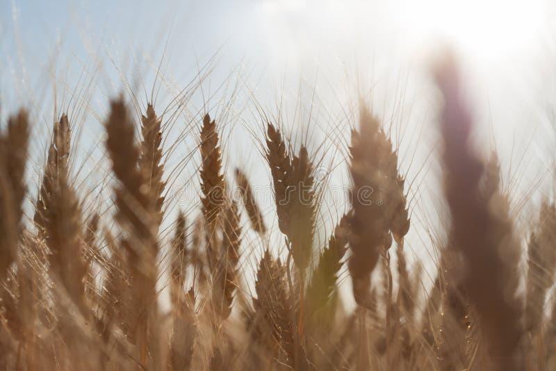 美好的自然日落风景 金黄麦子关闭的耳朵 在阳光下的农村场面 成熟的耳朵o夏天背景  免版税库存图片