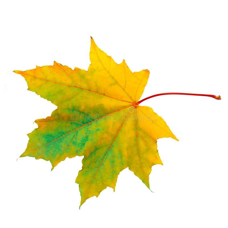 美好的自然秋天唯一枫叶宏指令 免版税库存照片