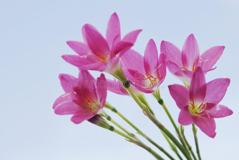 美好的花园粉红色 雨百合 库存图片