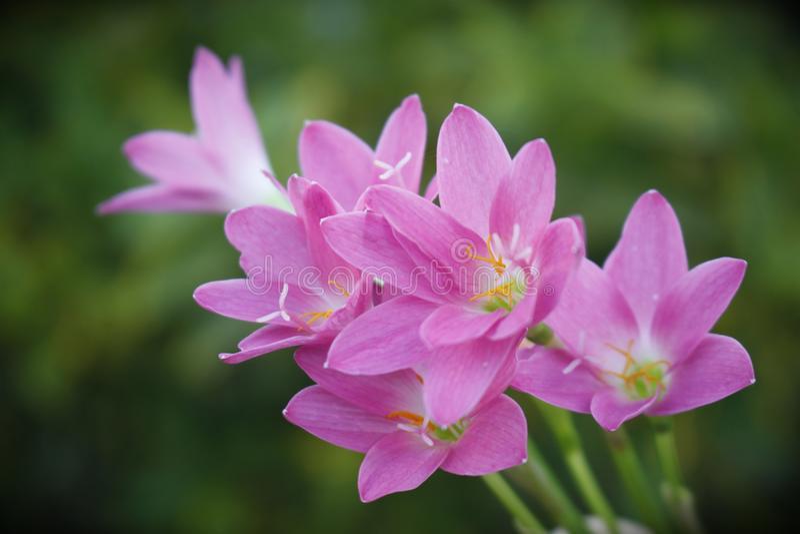 美好的花园粉红色 雨百合 免版税库存照片