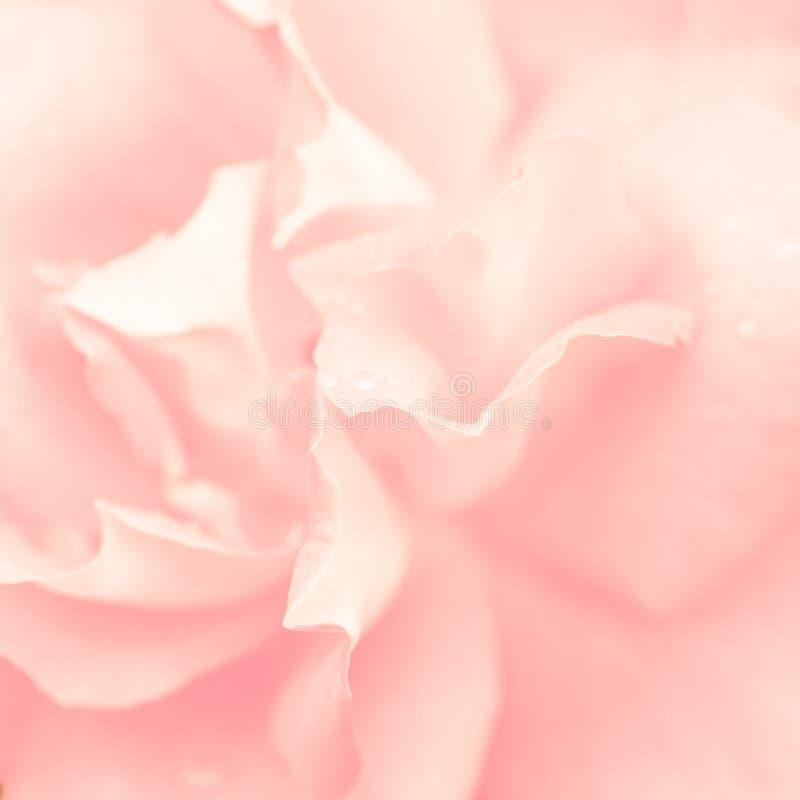 美好的花粉红色上升了 免版税图库摄影