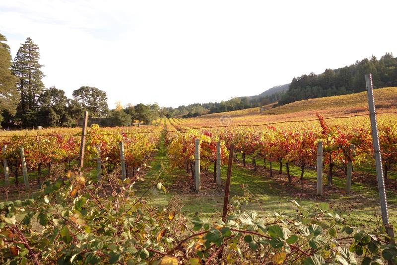 美好的葡萄园领域在索诺马谷,加利福尼亚 免版税库存照片