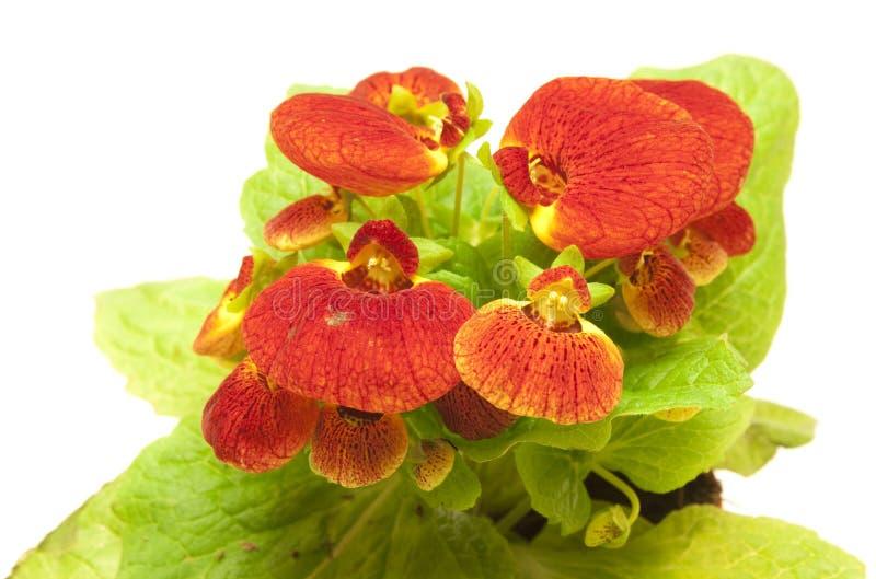 美好的蒲包花属植物 免版税图库摄影