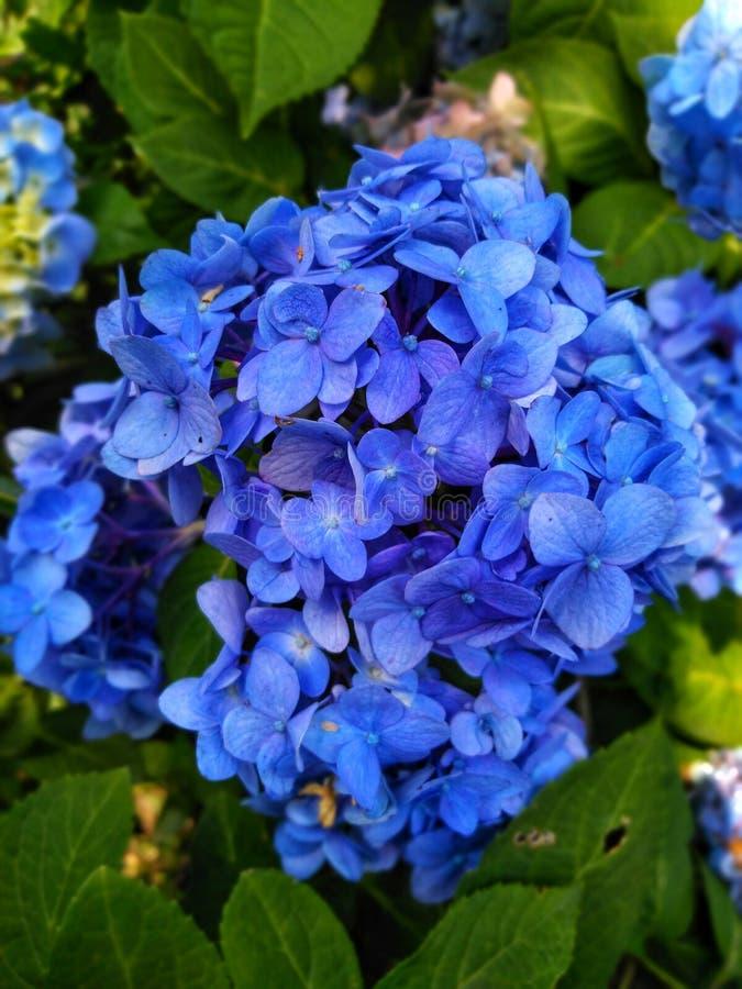 美好的蓝色花墙纸图象,庭院蓝色花照片在印度 免版税库存图片