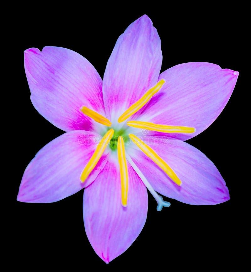 美好的蓝色花天空spp zephyranthes 查出 免版税库存照片