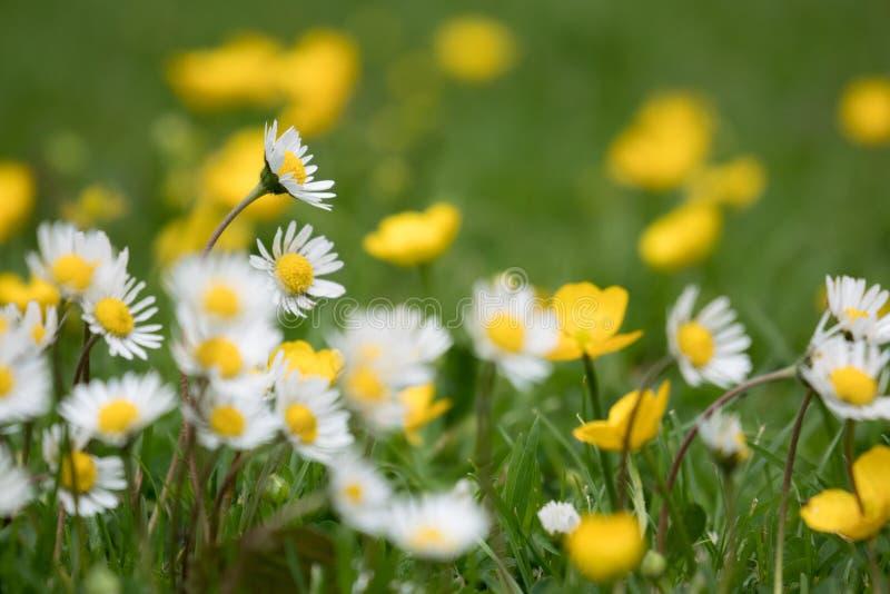 美好的选择聚焦射击了雏菊和黄色毛茛花在绿草 免版税库存图片