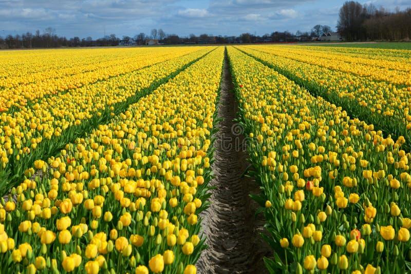 美好的郁金香域在荷兰 库存照片