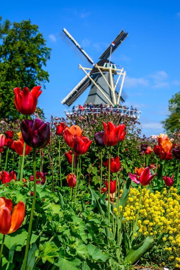 美好的郁金香领域在荷兰 免版税图库摄影