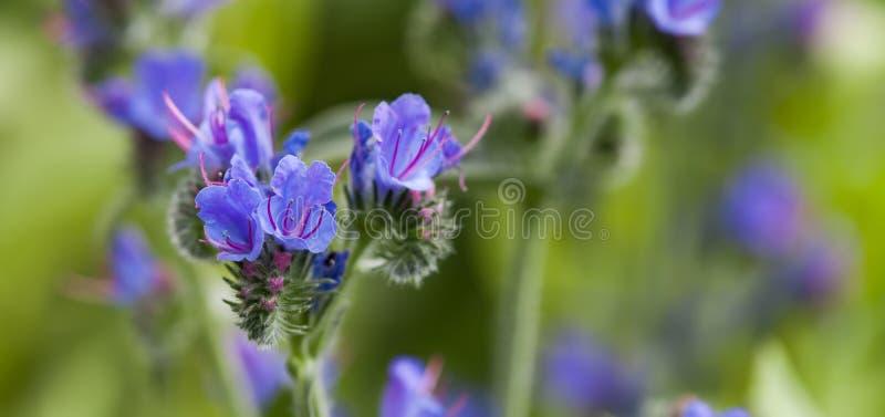 美好的野花风景 含毒植物Echium vulgare蛇蝎` s牛舌草和蓝蓟开花植物的 免版税库存图片