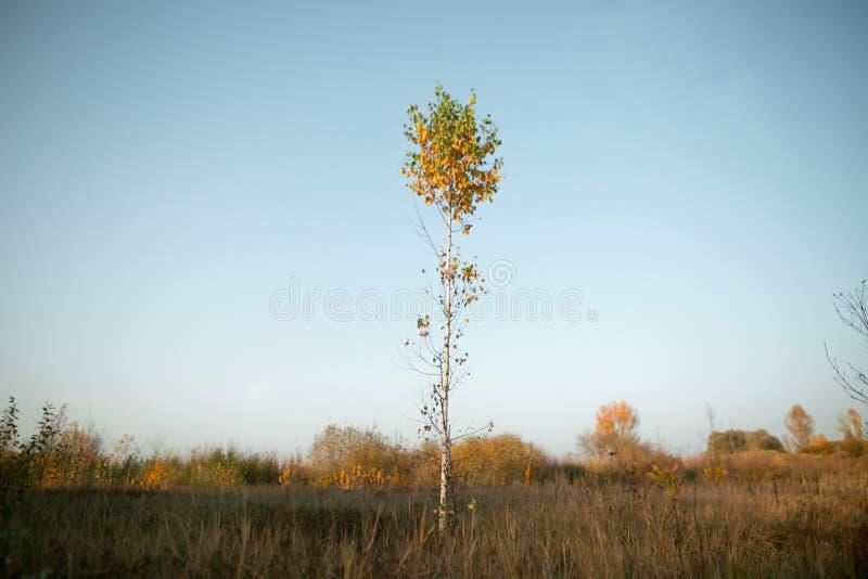 美好的金黄秋天 在五颜六色的礼服的白桦 图库摄影