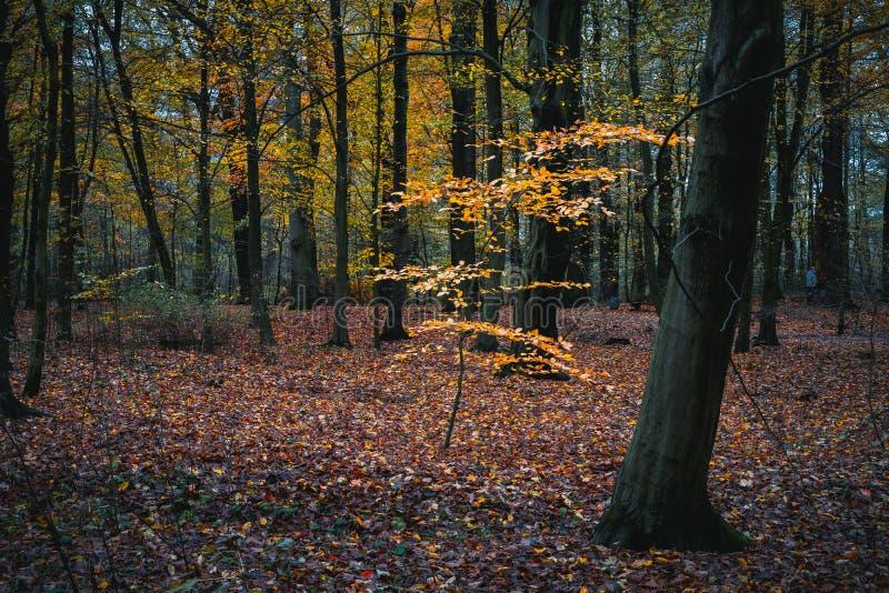 美好的金黄色的分支在镇静秋天森林里 免版税库存图片