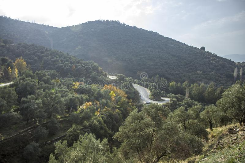 美好的阳光在小山的橄榄树下降靠近柏油路秋天 库存照片