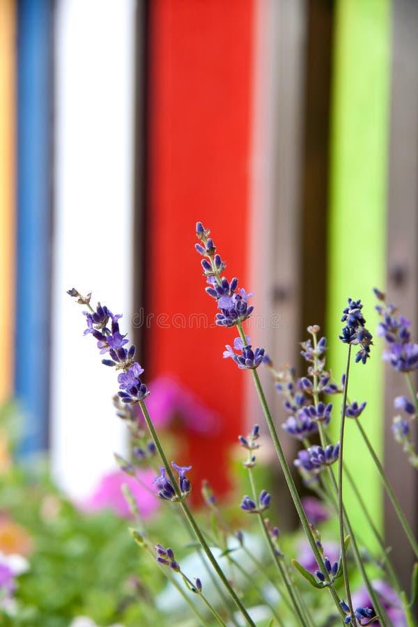 美好的领域在五颜六色的篱芭附近开花 免版税库存照片