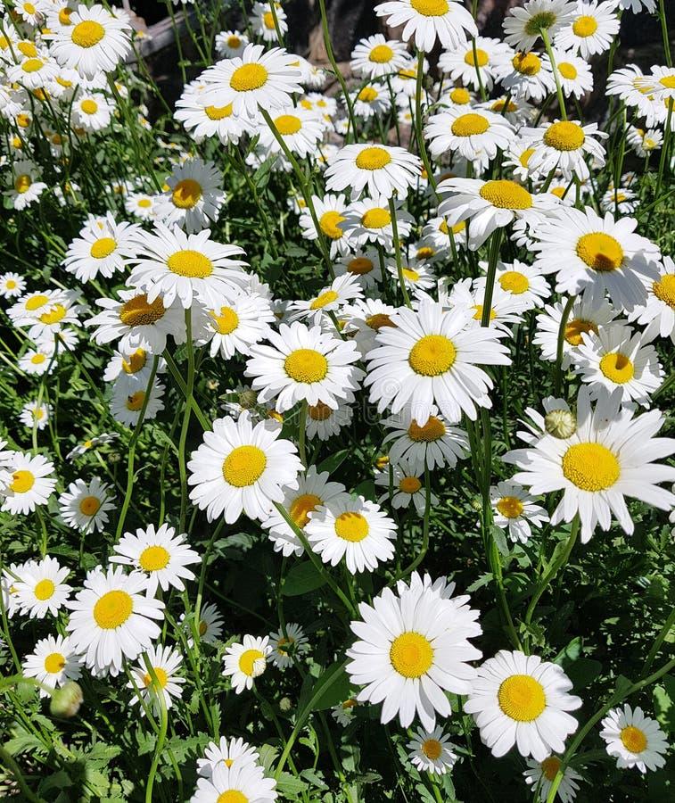 美好的领域有戴西花背景 明亮的春黄菊或camomiles草甸 库存图片
