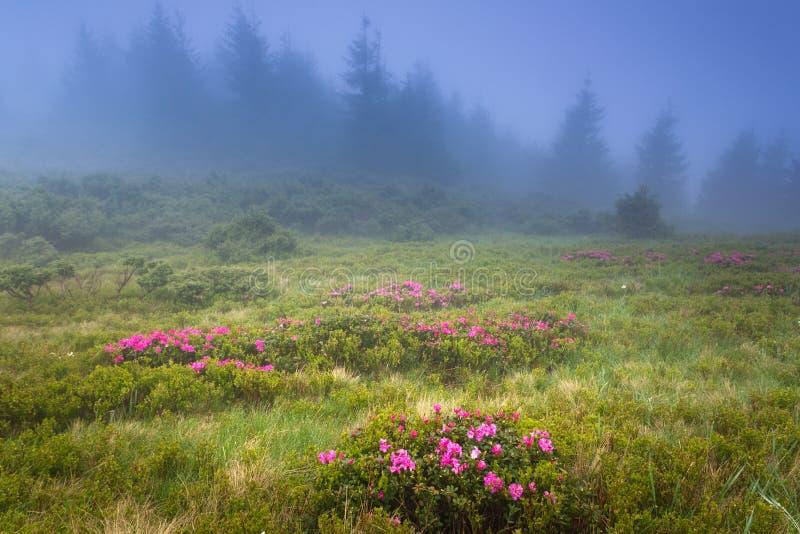 美好的风景在春天山 发烟性小山看法,报道用开花rododendrons 免版税库存照片