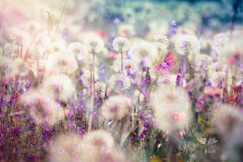 美好的风景在春天-蒲公英种子,蓬松打击球 库存图片