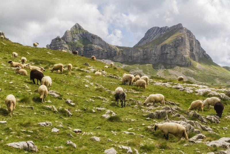 美好的风景在有新鲜的草和美好的峰顶的黑山 狄那里克阿尔卑斯山脉的黑山零件的杜米托尔国家公园国家公园 免版税库存图片