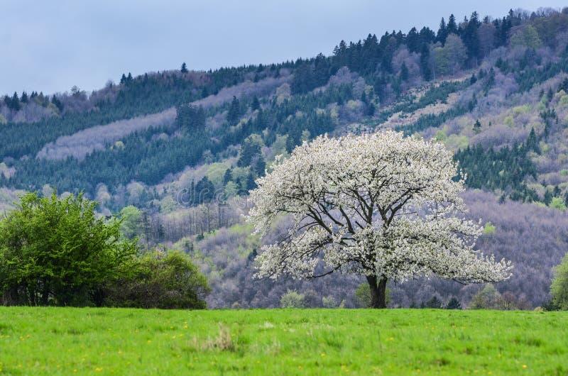 美好的风景春天 在充分好的草甸的白花樱桃树绿草 蓝天和雄伟森林在背景中 免版税库存图片