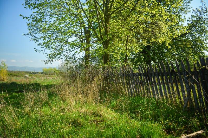 美好的风景春天 在充分好的草甸的白花樱桃树绿草 蓝天和雄伟森林在背景中 库存照片