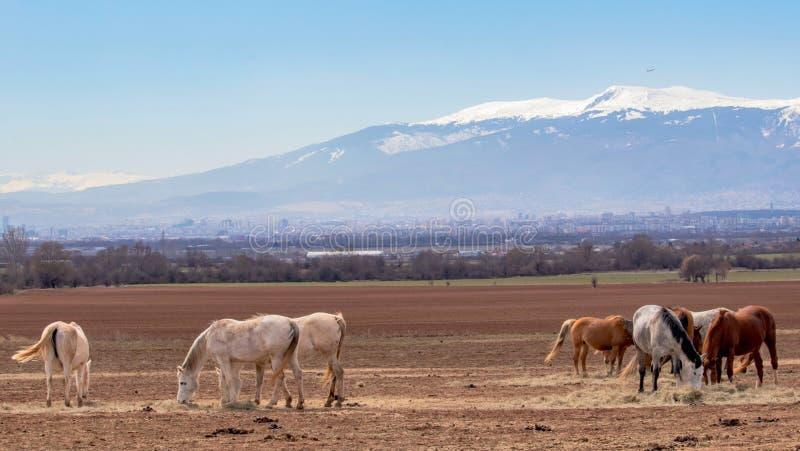 美好的风景,吃草在一个领域的良种白色,灰色,棕色马牧群,在背景雪山 免版税图库摄影