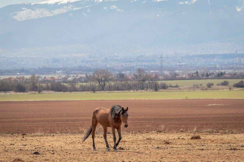 美好的风景,吃草在干草领域的孤独的棕色马,在背景是雪山 免版税库存图片