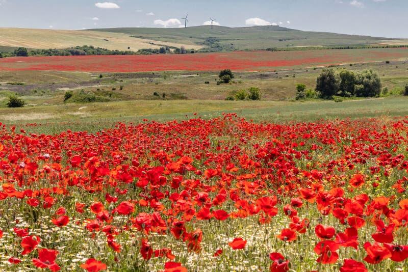美好的风景,花田与明亮的红色鸦片和戴西花,绿草和树,在背景高小山 免版税库存照片