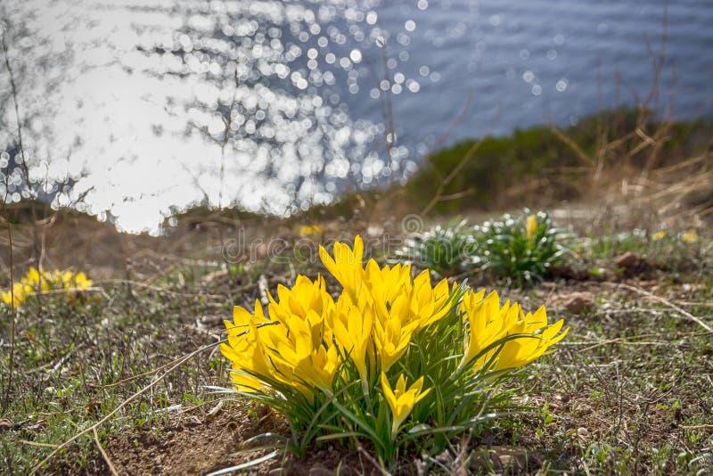 美好的黄色春天开花在水背景的番红花 第一花春天 库存照片