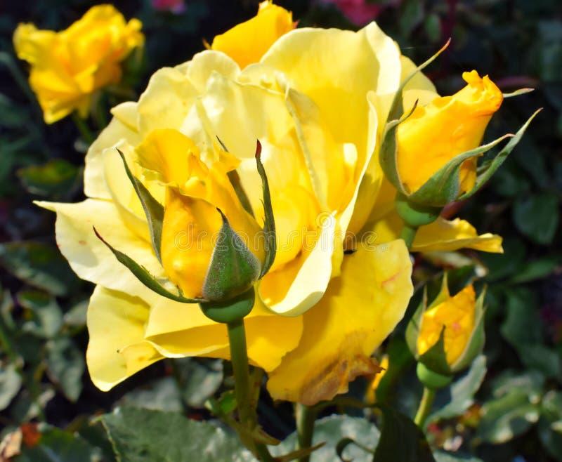 美好的黄色玫瑰色绽放在庭院在俄勒冈 库存图片