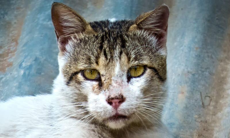 美好的黄色看在照相机印度的被注视的猫 库存照片