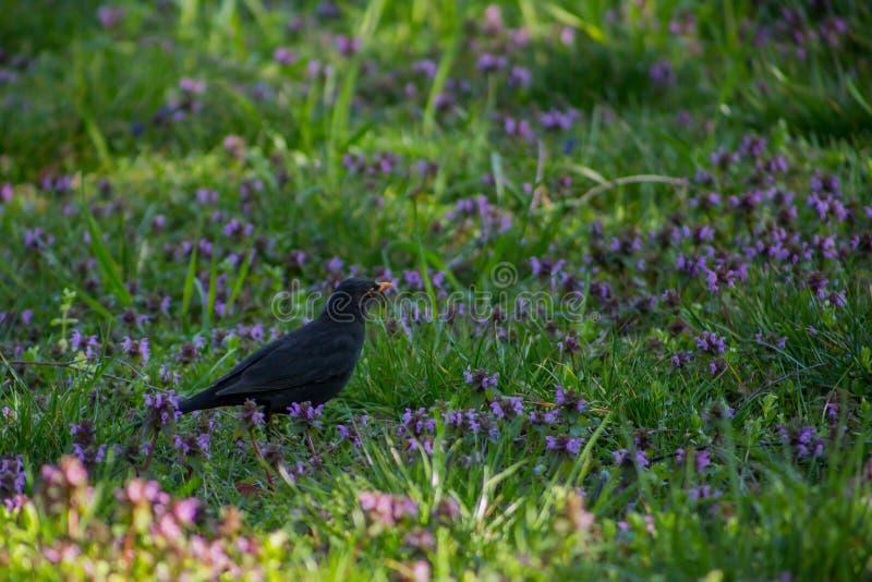 美好的黑鸟白嘴鸦在有蓝色花的绿色草甸站立 免版税库存图片
