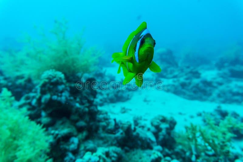 美好的水下的抽象样式珊瑚礁和一个对黄色蝴蝶鱼 免版税图库摄影