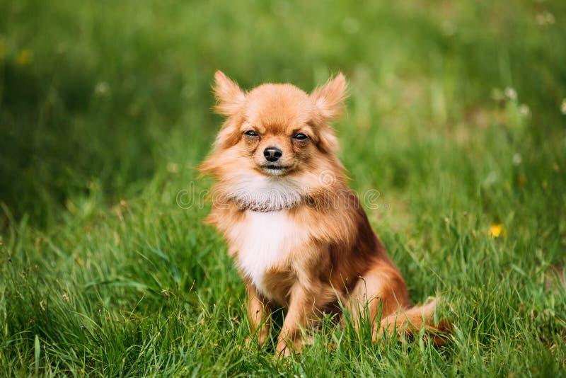 美好的滑稽的年轻红褐色和白色微小的奇瓦瓦狗狗开会 库存图片
