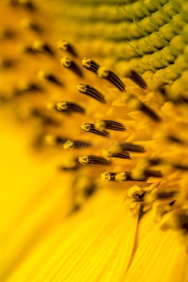 美好的黄色向日葵雄芯花蕊、雌蕊和polle特写镜头  免版税库存图片