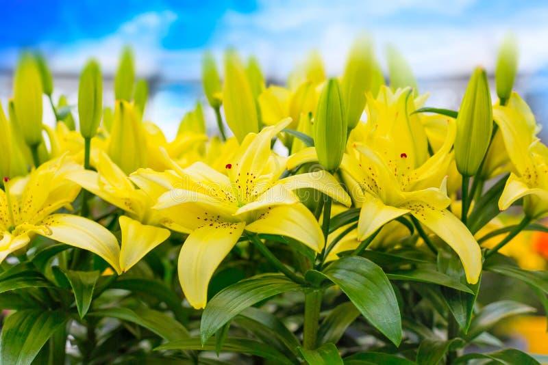 美好的黄色百合花装饰全景宏指令关闭 库存图片