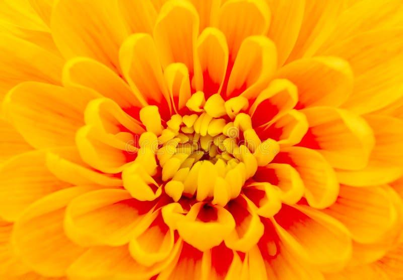 美好的黄色菊花关闭 库存图片