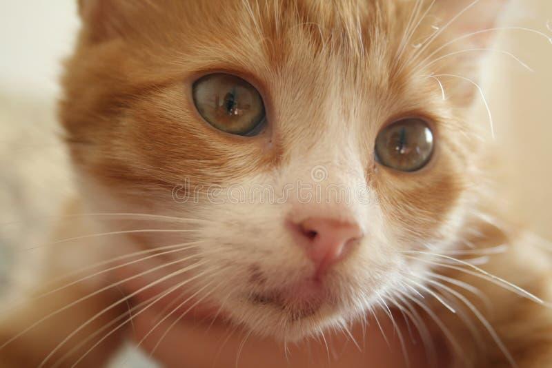 美好的黄色被注视的猫 库存图片