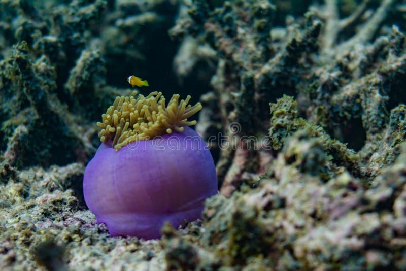 美好的紫色活珊瑚在马尔代夫的海洋 免版税库存照片