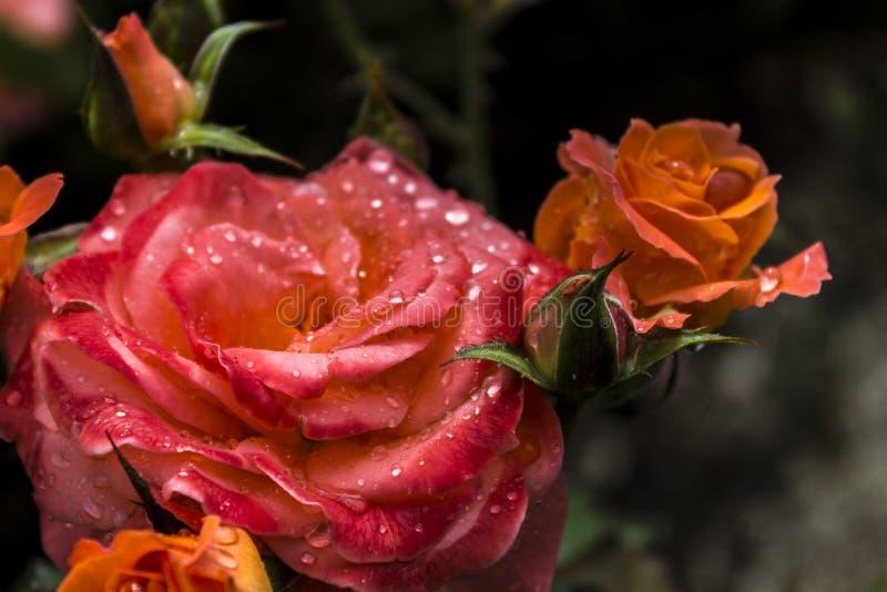 美好的bokeh庭院光自然照片玫瑰 免版税库存照片