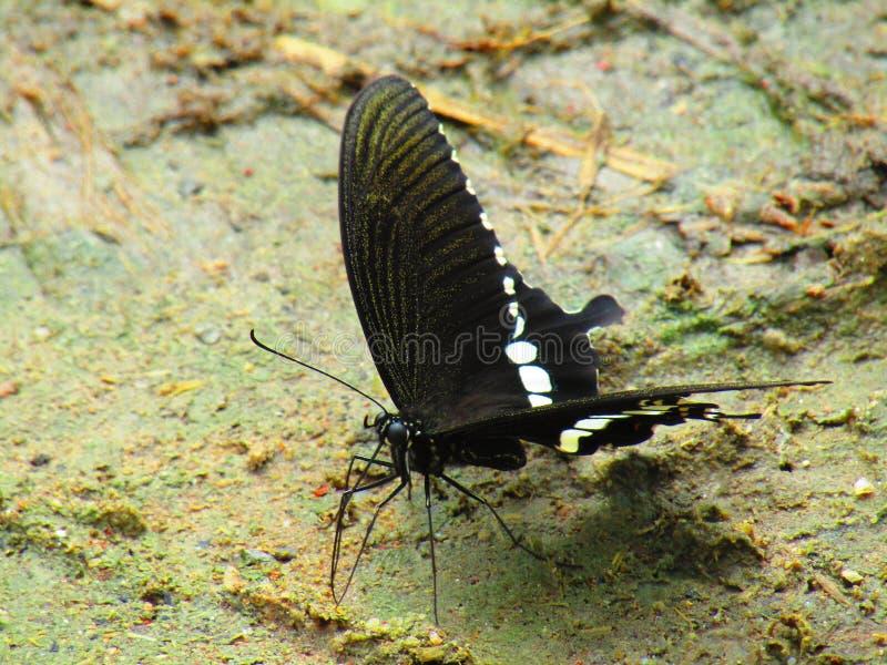 美好的bPapilio polytes,共同的摩门教徒,是在亚洲广泛被分布的swallowtail蝴蝶的一个共同的种类 库存图片