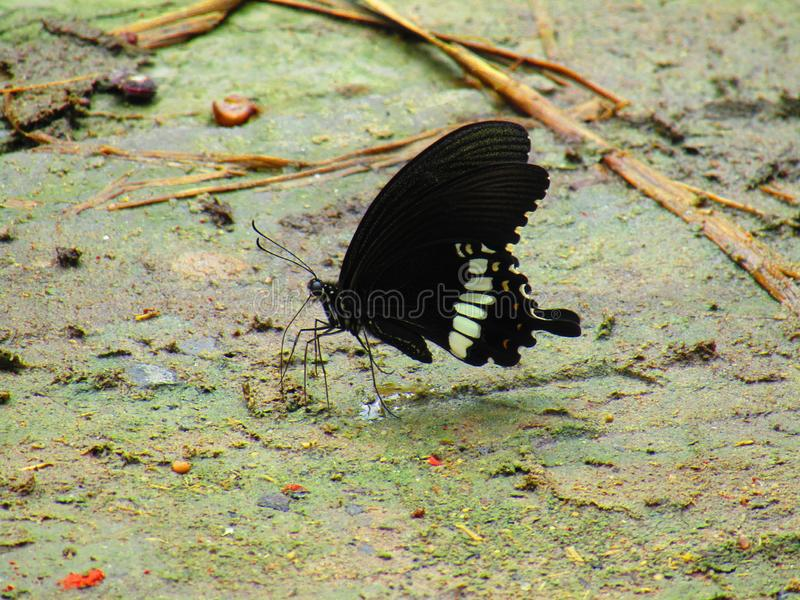 美好的bPapilio polytes,共同的摩门教徒,是在亚洲广泛被分布的swallowtail蝴蝶的一个共同的种类 库存照片