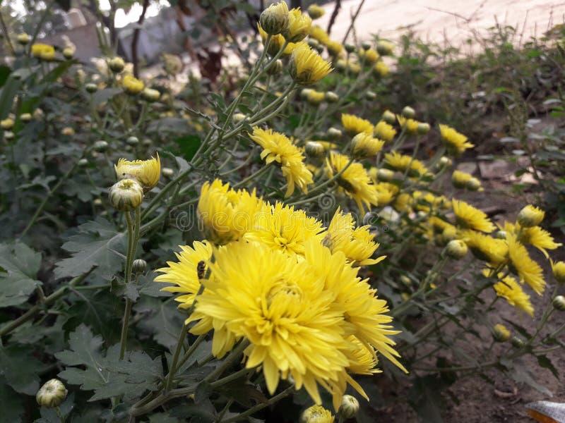 美好的Guldaudi北印度语名字在冬天增长 库存照片