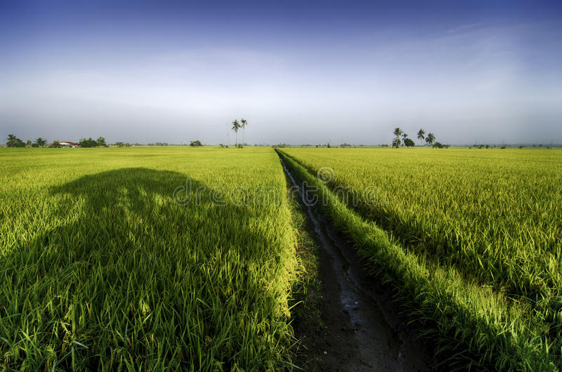 美好的lanscape黄色稻田早晨 库存图片