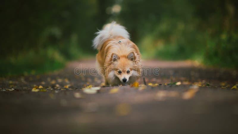 美好的pomeranian波美丝毛狗橘黄色 在乡下公路的好的友好的狗宠物在秋天季节的公园 库存照片